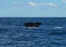Het duiken potvis` s staart Stock Afbeeldingen