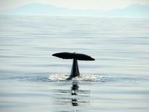 Het duiken walvis Stock Afbeeldingen