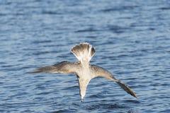 Het duiken zeemeeuw Royalty-vrije Stock Fotografie