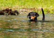 Het Duitse Pinscher-zwemmen Royalty-vrije Stock Fotografie