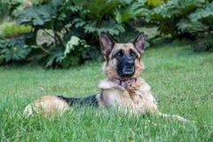 Het Duitse Shepard-hond liggen Royalty-vrije Stock Foto's
