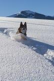 Het Duitse shepard spelen met sneeuwbal Royalty-vrije Stock Afbeelding