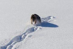 Het Duitse shepard spelen in sneeuw met sneeuwbal Royalty-vrije Stock Afbeelding