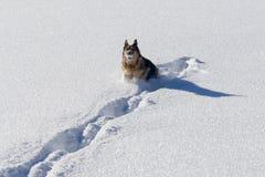 Het Duitse shepard spelen in sneeuw met sneeuwbal Royalty-vrije Stock Foto's
