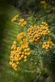 Het duizendblad van het varenblad met rond gemaakte gele bloemen Stock Fotografie