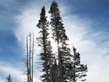 Het Duo van de boomboomstam met Gesilhouetteerd Gebladerte royalty-vrije stock fotografie