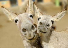 Het Duo van de ezel Royalty-vrije Stock Afbeeldingen