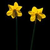 Het Duo van de gele narcis Royalty-vrije Stock Afbeelding