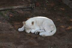 Het dutje van de kat Stock Afbeelding