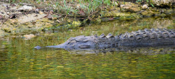 Het dutten Gator stock afbeelding