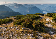 Het dwergbergpijnboom groeien in de Alpen van Hoher Dachstein Stock Fotografie