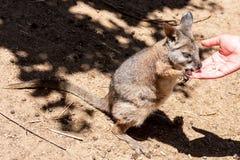 Het eatting voedsel van Macropodidae van de kangoeroewallaby van menselijke handen Australië, Kangoeroeeiland stock foto