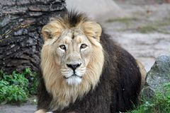 Het edele Portret van de Leeuw Royalty-vrije Stock Afbeeldingen