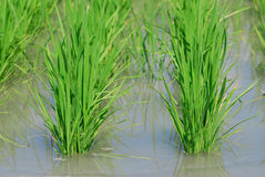 Het is een groen padie-gebied. Royalty-vrije Stock Afbeelding