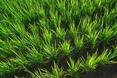 Het is een groene achtergrond van het rijstland. stock foto