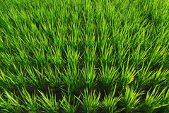 Het is een groene achtergrond van het rijstland. royalty-vrije stock afbeelding