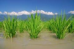 Het is een groene achtergrond van het rijstland. royalty-vrije stock foto's