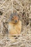 Het Een hoogtepunt bereiken van de eekhoorn uit Gat Royalty-vrije Stock Foto's