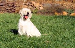 Het een weinig aardige gele puppy van Labrador in de herfst stock foto's
