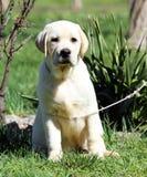 Het een weinig leuke puppy van Labrador in het park Royalty-vrije Stock Fotografie