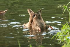 Het eendduo duikt in de wateren van een mooi de zomermeer Royalty-vrije Stock Afbeelding