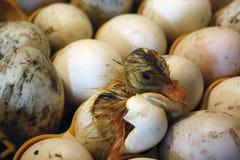 Het eendje komt uit het ei in een broedplaats, incubator stock afbeelding