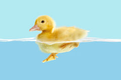 Het eendje zwemt eerst stock afbeeldingen