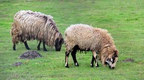 Het eenvoudige Leven Tow Sheep op weiland Stock Afbeelding