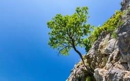 Het eenzame boom hangen van rotsen in de bergen Stock Afbeelding