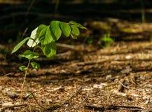 Het eenzame groene installatie groeien in het bos onder zonlicht Stock Afbeeldingen