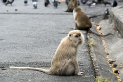 Het eenzame leven van apen Royalty-vrije Stock Foto's