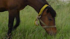 Het eenzame Mooie bruine paard in de groene weide, sluit omhoog stock footage