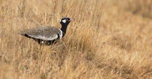 Het eenzame noordelijke zwarte korhaan mannelijke heimelijk nemen hoewel droog bruin gras stock afbeeldingen