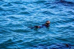 Het eenzame overzeese otter spelen in de baai Stock Afbeeldingen