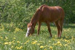 Het eenzame paard weiden Stock Afbeelding