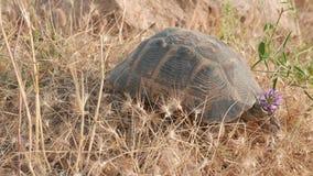 Het eenzame schildpad lopen 4k