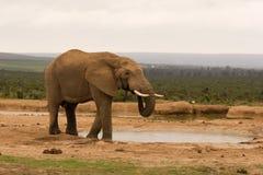 Het eenzame stierenolifant drinken bij een waterpoel Royalty-vrije Stock Fotografie