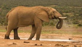 Het eenzame stierenolifant drinken bij een waterpoel Stock Foto