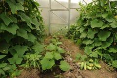Het eerste gewas van komkommers Stock Foto