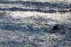 Het eerste starling in het de lentebos ter wereld op zoek naar voedsel royalty-vrije stock foto