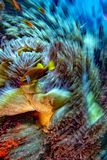Het effect van de draaibeweging Clownvissen binnen rode anemoon in Malduve royalty-vrije stock foto