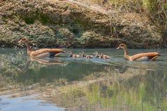 Het Egyptische Ganzenfamilie Zwemmen Royalty-vrije Stock Foto