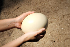 Het ei van de struisvogel Stock Afbeeldingen
