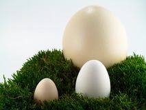 Het ei van de struisvogel, van de gans en van de kip Stock Afbeelding
