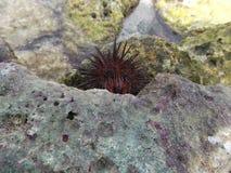 Het ei van de zee?gelreiger van ventricosus van de eilandschildpad tripneustes in de caldera van het kustzonestrand, stenen/Venez royalty-vrije stock foto's