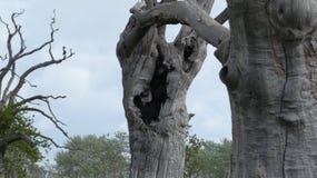 Het eiken oude van angst verstijfde bos die van Boomdryades van de dag genieten die 2000 jaar 2 vieren stock foto