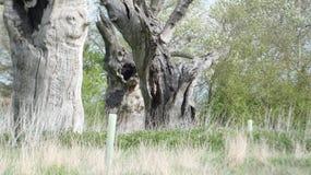 Het eiken oude van angst verstijfde bos die van Boomdryades van de dag genieten die 2000 jaar 5 vieren royalty-vrije stock afbeelding