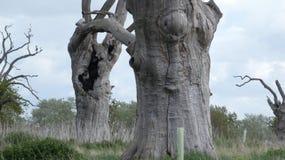 Het eiken oude van angst verstijfde bos die van Boomdryades van de dag genieten die 2000 jaar 6 vieren royalty-vrije stock foto