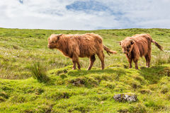 Het Eiland van Bos taurus van het hooglandvee van Skye, Schotland, het UK Stock Foto
