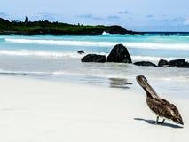 Het Eiland van de Galapagos - het Strand en de Pelikaan van Nice royalty-vrije stock afbeelding